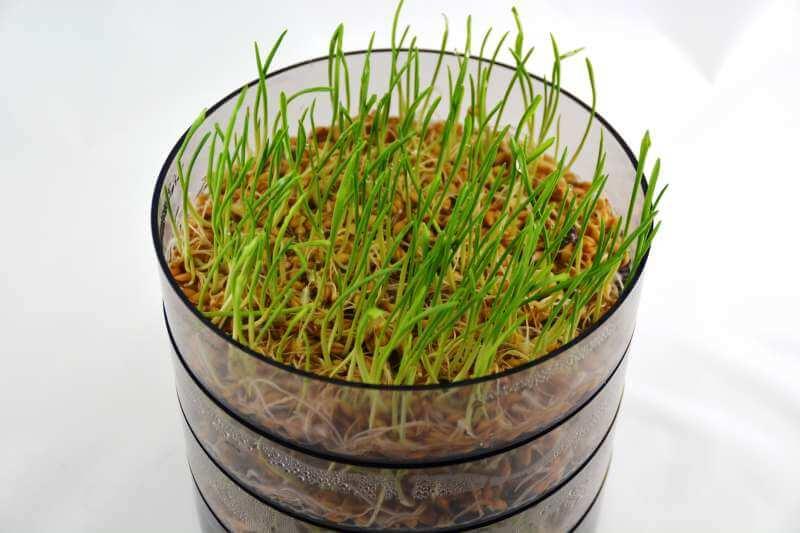 Weizengras selbst gezogen
