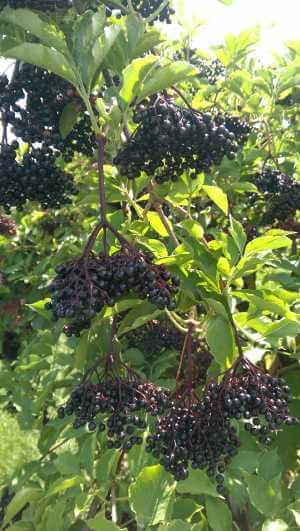 Beeren entsaften a la Oma, ohne einen richtigen
